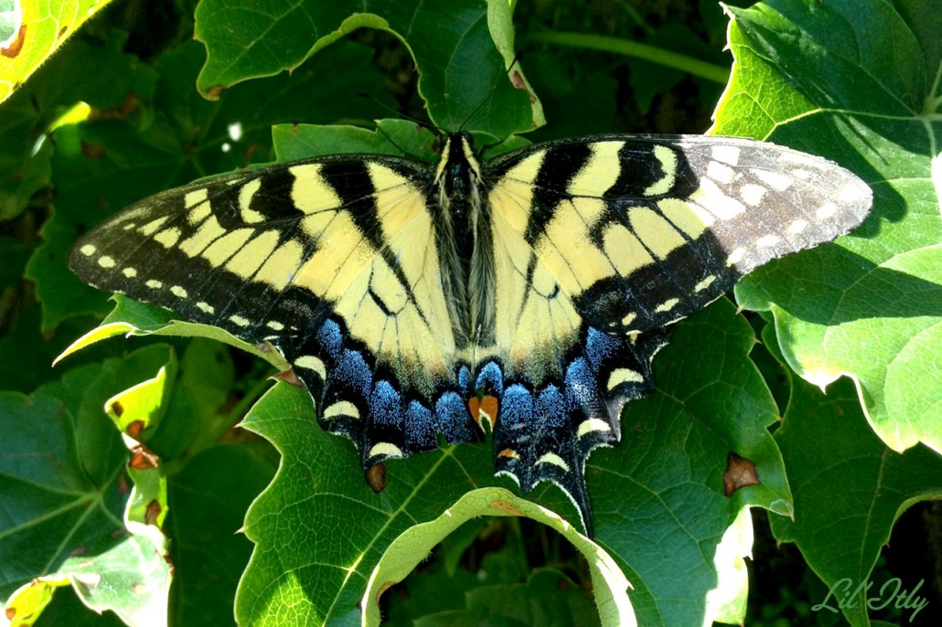 kenmares-buttermoth-1280
